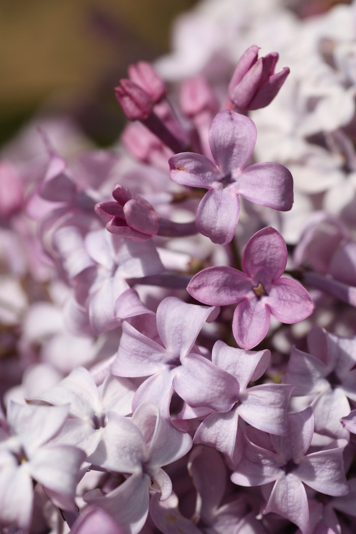 edelflieder syringa hyacinthiflora mirabeau. Black Bedroom Furniture Sets. Home Design Ideas