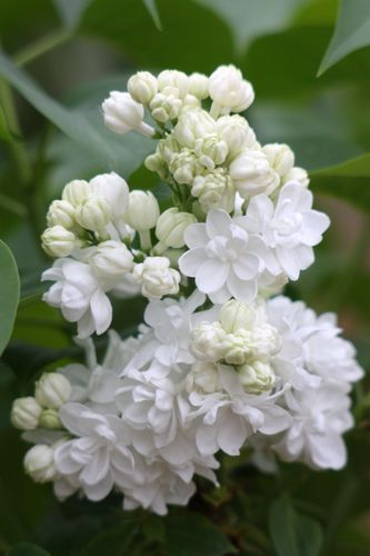 Syringa vulgaris `MONIQUE LEMOINE´