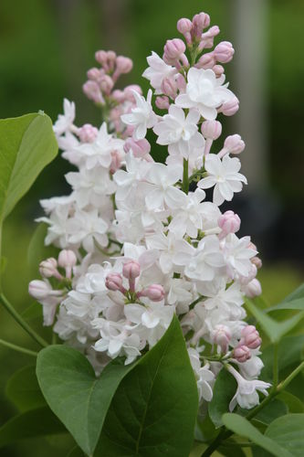 Syringa vulgaris `BEAUTY OF MOSCOW´
