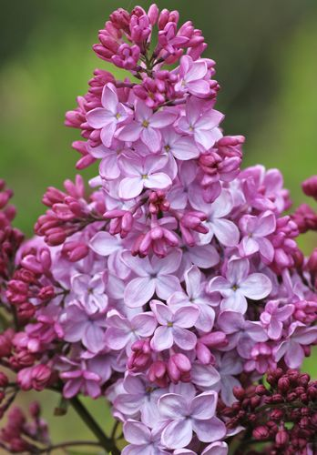 Syringa hyacinthiflora `ESTHER STALEY´