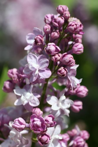 Syringa vulgaris `KATHERINE HAVEMEYER´