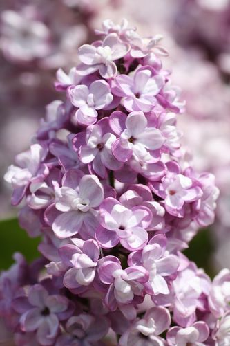 Syringa vulgaris `GENERAL PERSHING´