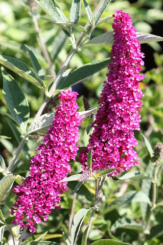 Buddleja davidii `NANHO PURPLE´